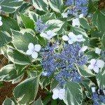 variegated-hydrangea