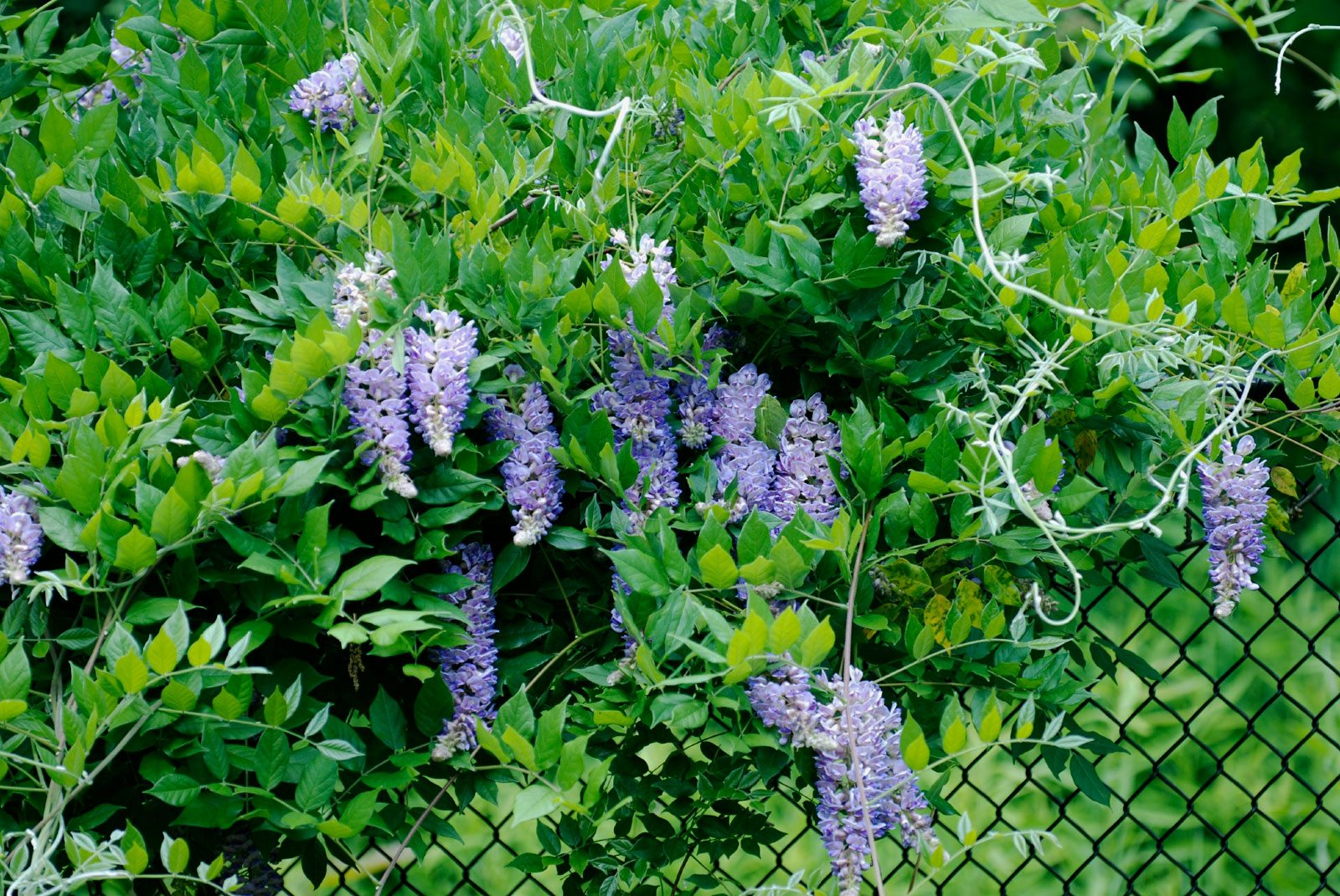 Plants That Grow On Fences Covering Chain Link Fences