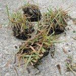 zoysia grass plugs