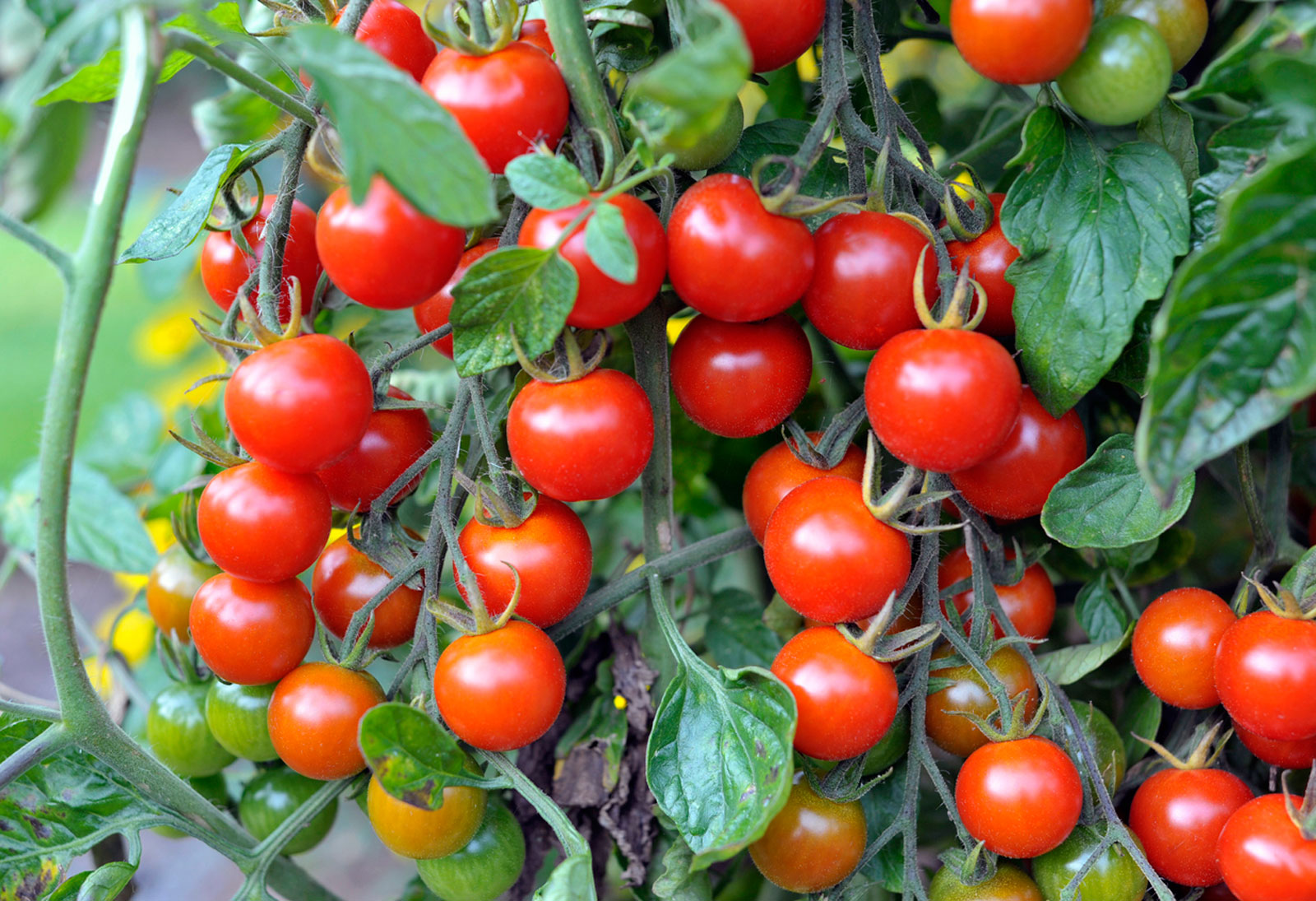Planting Cherry Tomatoes How To Grow Cherry Tomatoes