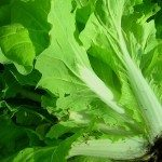 chinese-cabbage
