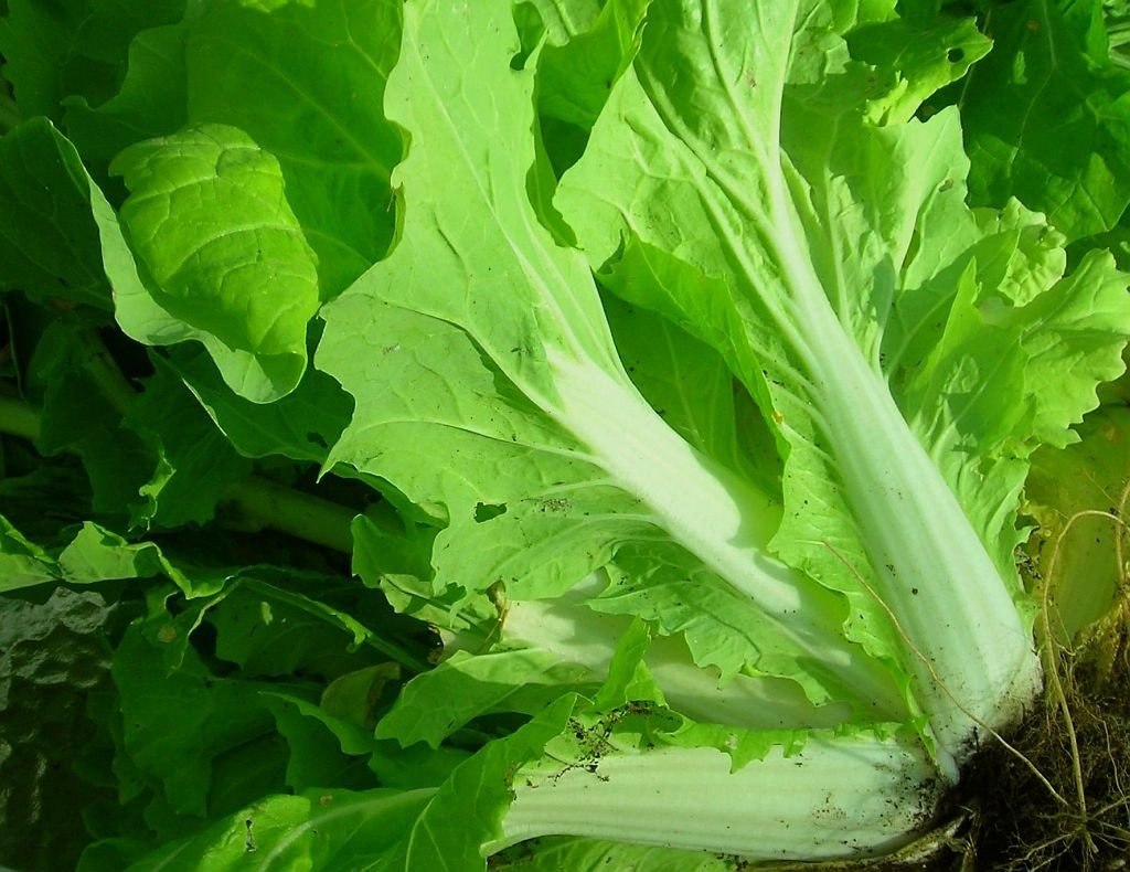 Planting Chinese Cabbage: Chinese Cabbage Growing In The ...