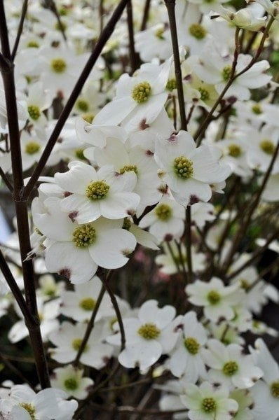 How To Grow Dogwood Trees