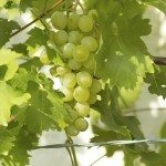 Ripe white wine grapes on vine