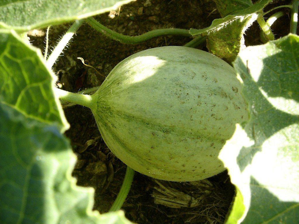 How To Grow Melon Vines Tips To Grow Melons When planting cantaloupe, it's best to sow the seeds directly in the garden. how to grow melon vines tips to grow