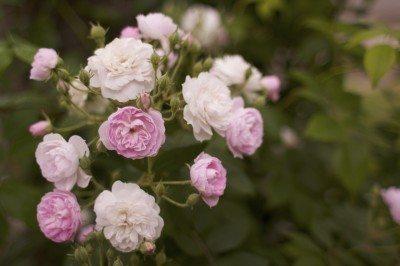 Pink & white Tea Roses
