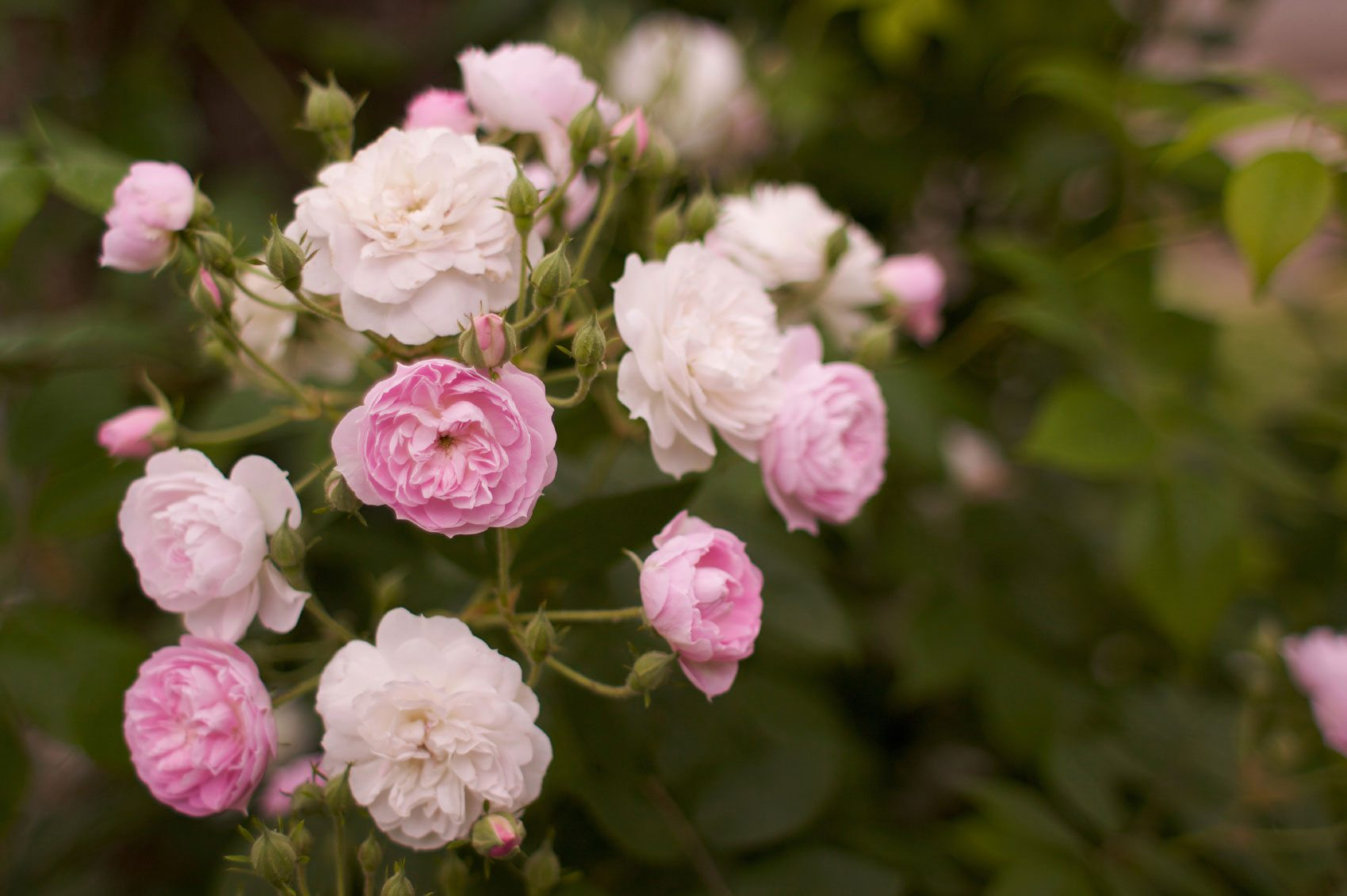 Growing roses for beginners how to take care of roses - Planting rose shrub step ...