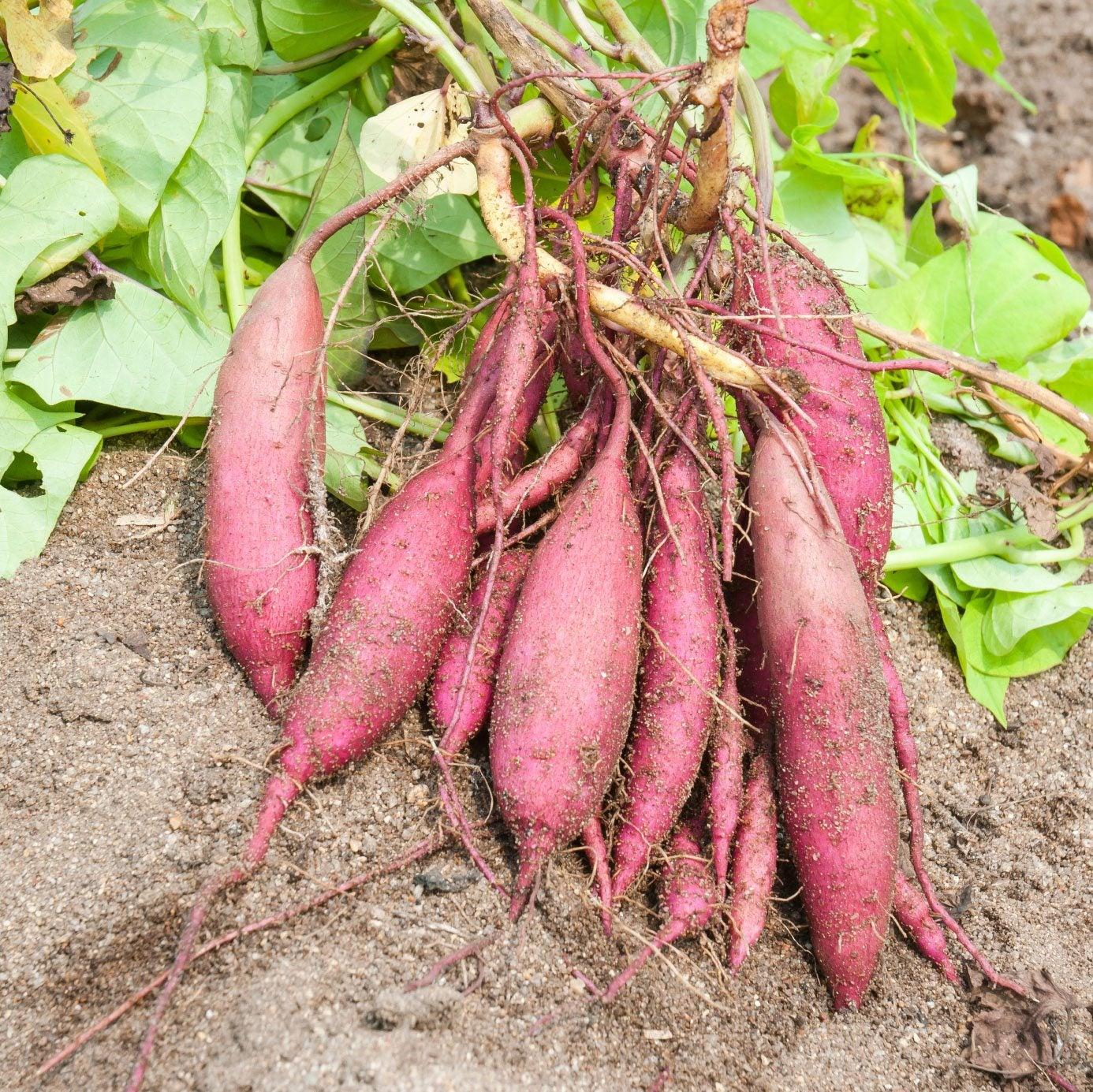 Sweet Potatoes: Planting, Growing, and Harvesting Sweet ...