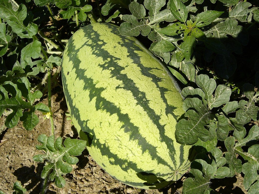 Growing Watermelons How To Grow Watermelons