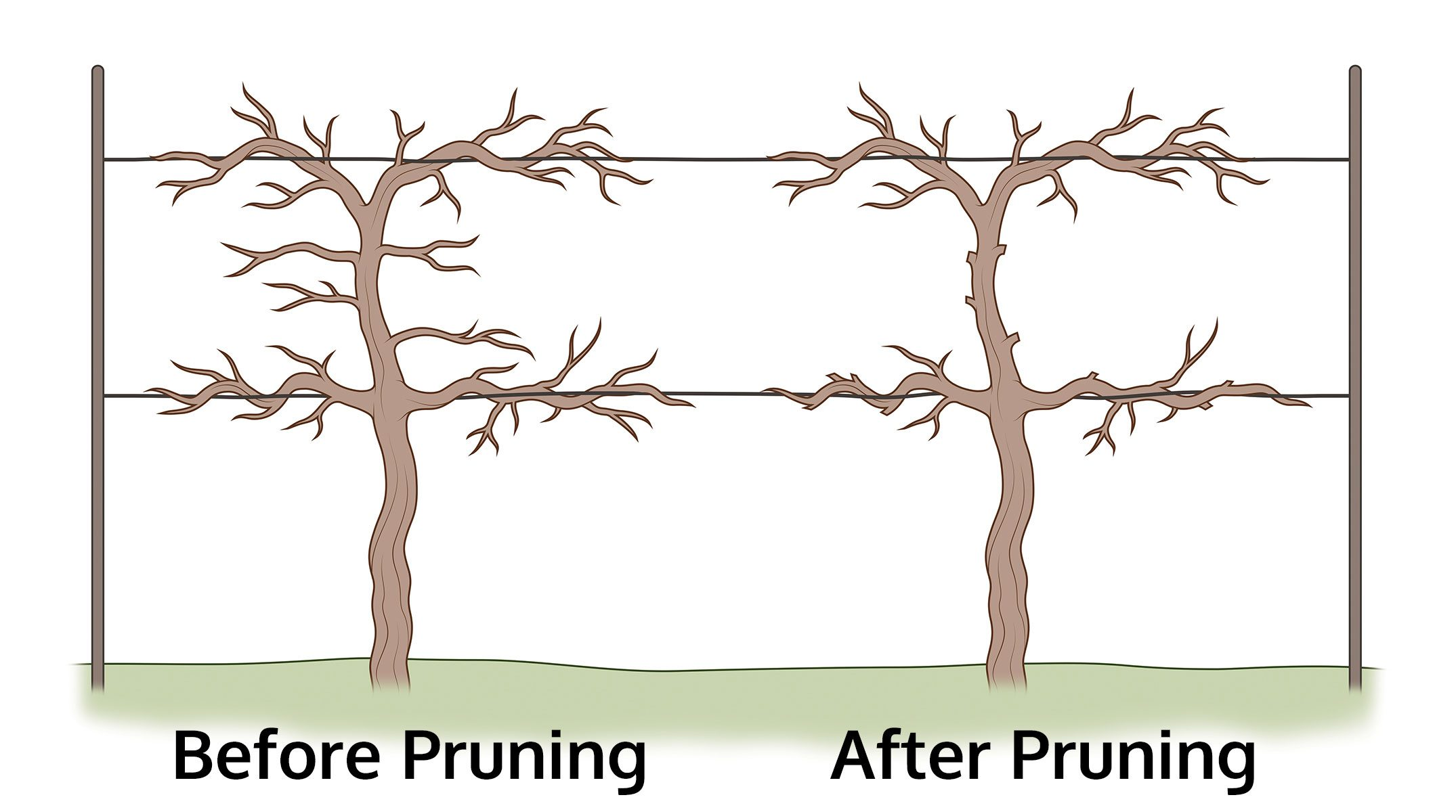 How to prune grapes how to trim a grapevine - How to prune and train the grapevine ...