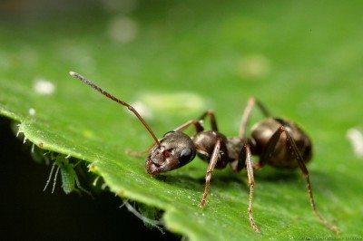 How do i get rid of ants in my garden?