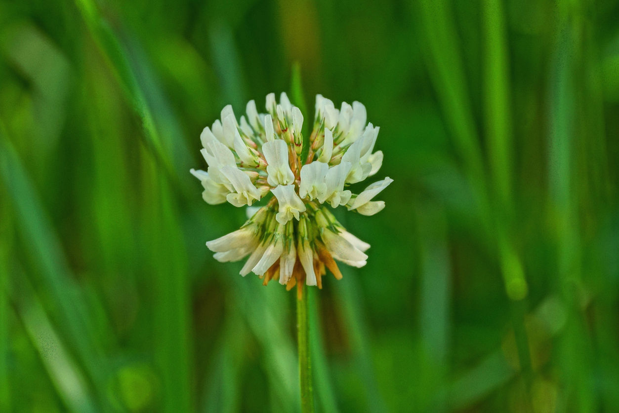 How To Identify Lawn Weeds Learn About Common
