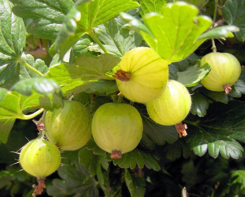 how to grow a gooseberry tree from seed