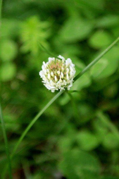 lawn-clover
