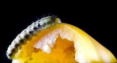 Pepper Pests Learn About Pepper Caterpillars Pepper Grubs And