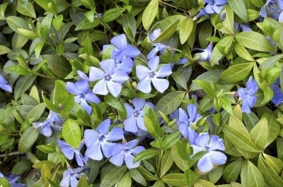 Suggestions for shade ground cover learn more about ground covers for shade mightylinksfo