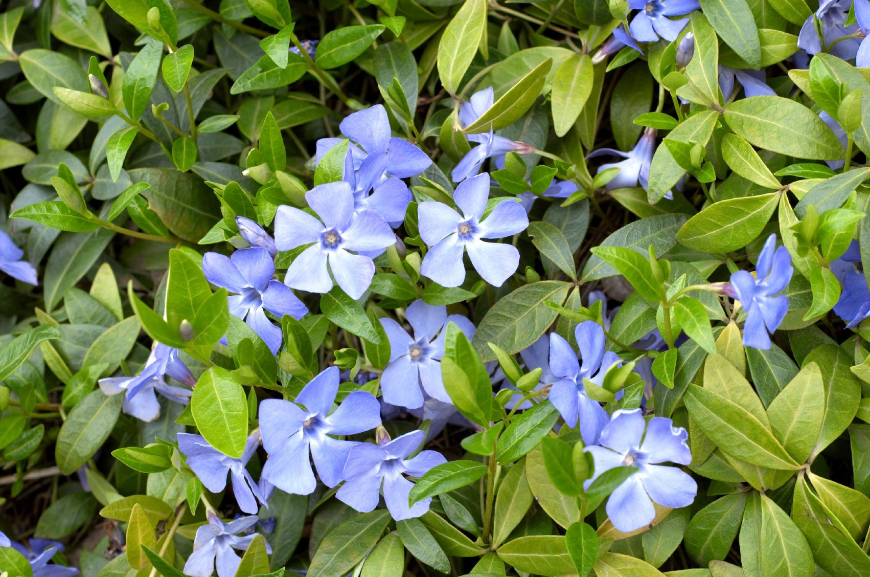 Learn More About Ground Covers For Shade