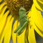 sunflower grasshopper