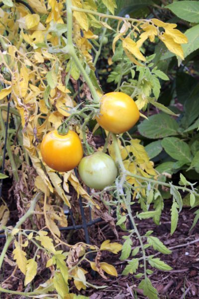 Yellow Leaves On Tomato Leaves On Tomato Plants Are Turning Yellow,Best Color For Small Bedroom Walls