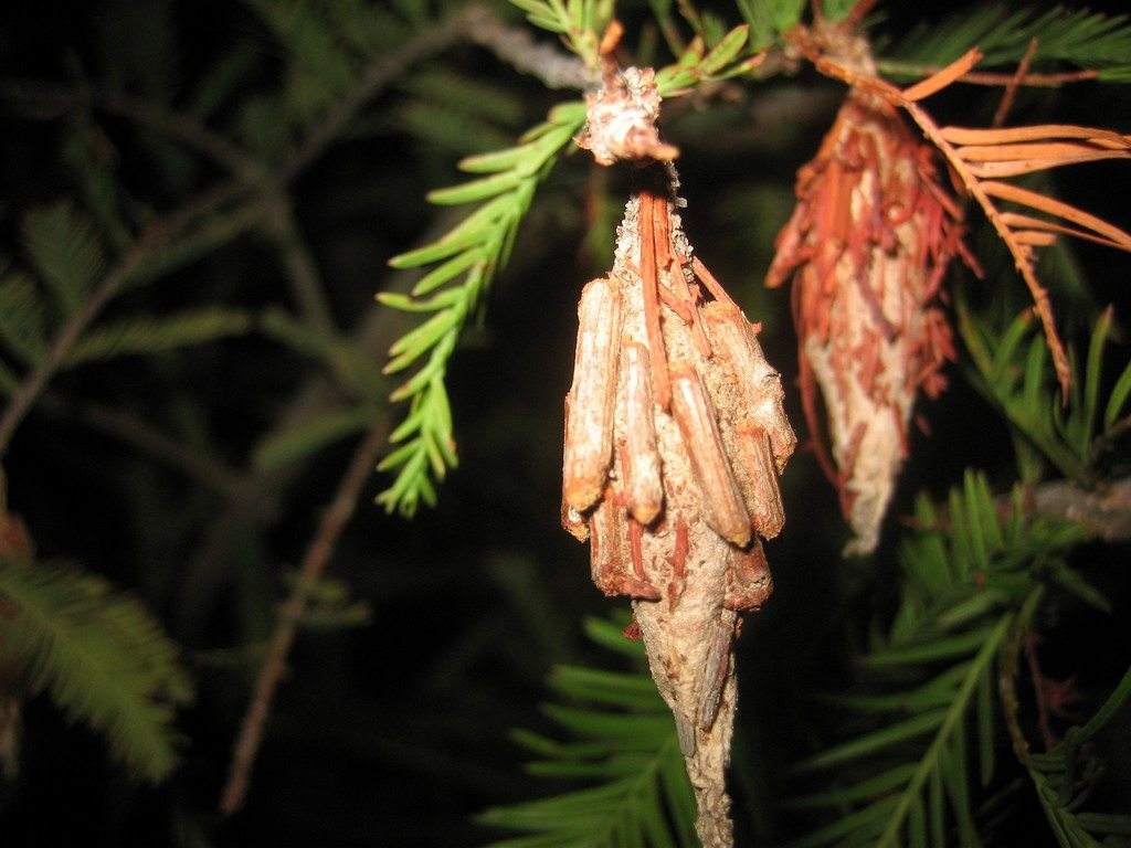 bagworm control how to get rid of bagworms. Black Bedroom Furniture Sets. Home Design Ideas