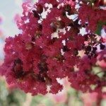 crepe-myrtle-blossom