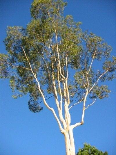 Eucalyptus Tree Information How To Care For A Eucalyptus Tree
