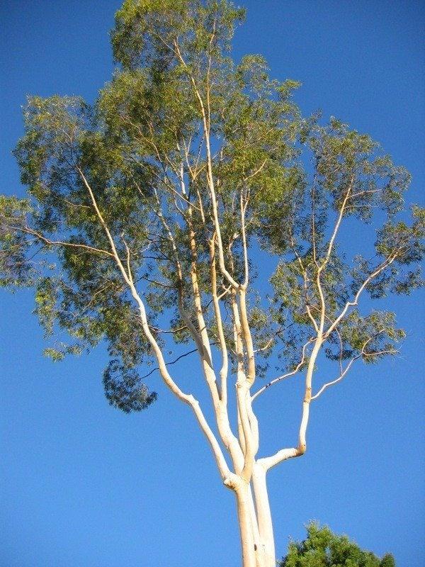 Eucalyptus Tree Information: How To Care For A Eucalyptus Tree