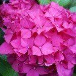 pink-hydrangea