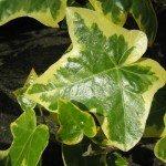 variegated-ivy