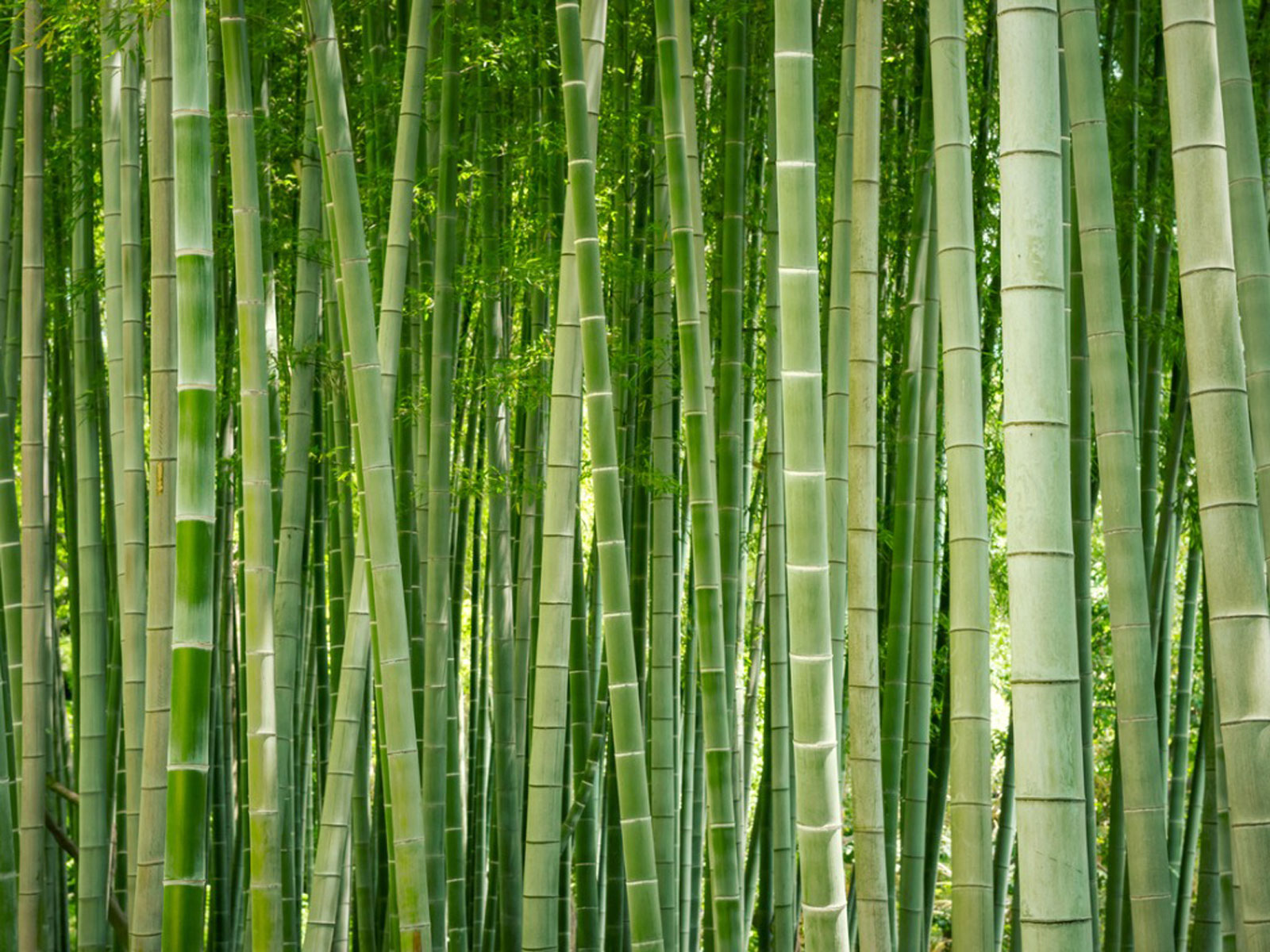 Bamboo Control: How To Get Rid Of Bamboo