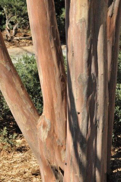 crepe-myrtle-bark