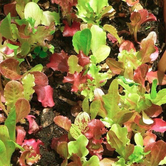 How to harvest leaf lettuce for How to pick lettuce from garden
