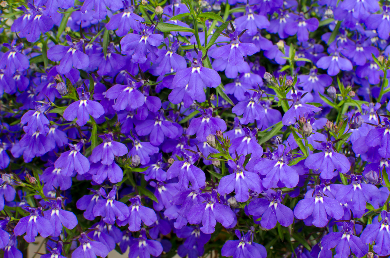 Growing Lobelia: Tips For Care Of Lobelia