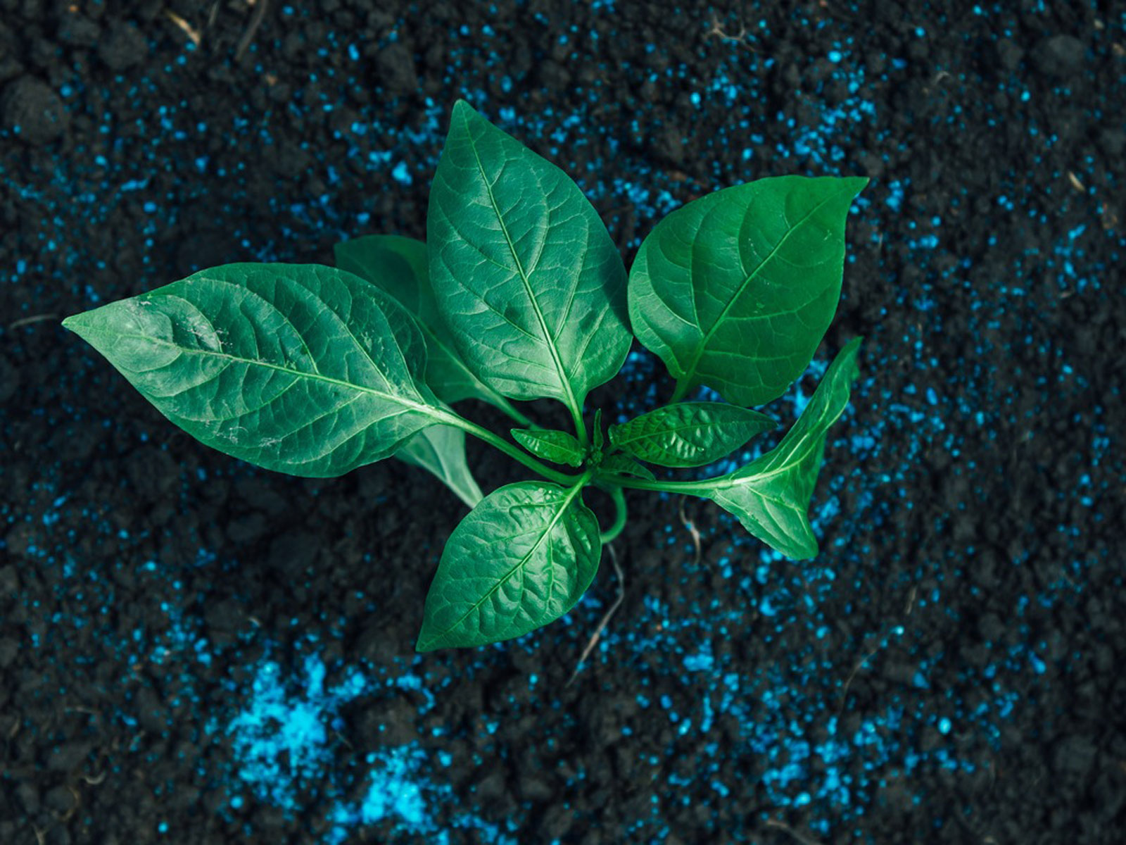 Best Time To Fertilize Peppers – Learn About Fertilizer For Pepper