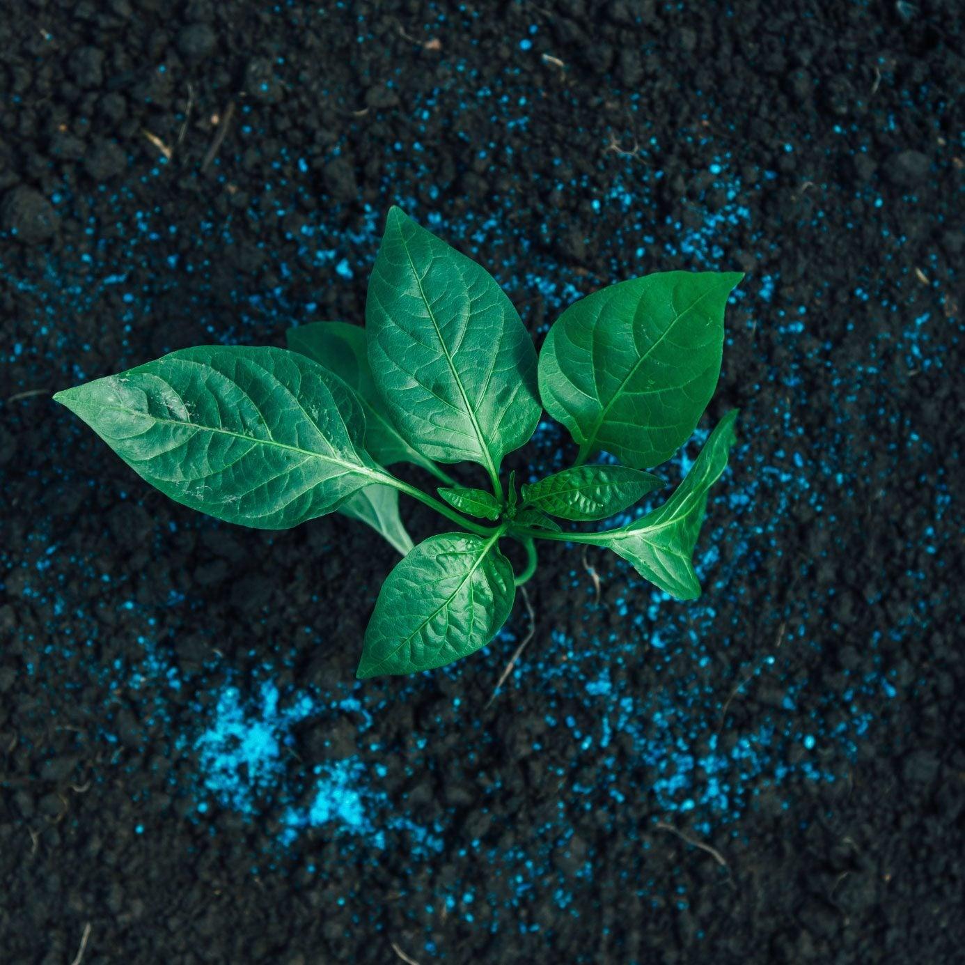 Fertilizing Pepper Plants What Is The Best Fertilizer For Pepper