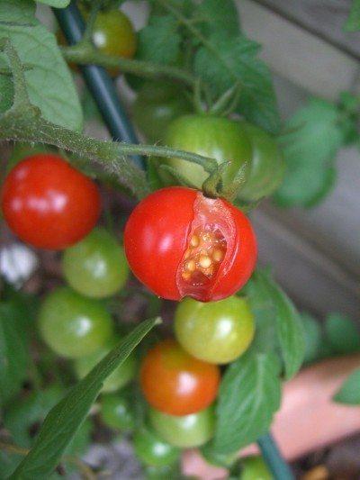 split-tomatoes