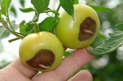tomato-blossom-rot