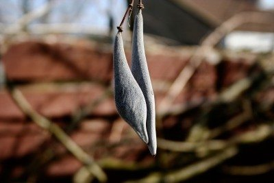 wisteria seeds