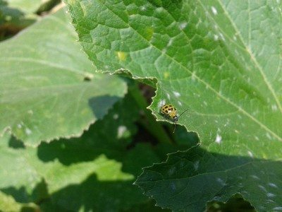 cucumber-beetle-on-leaf