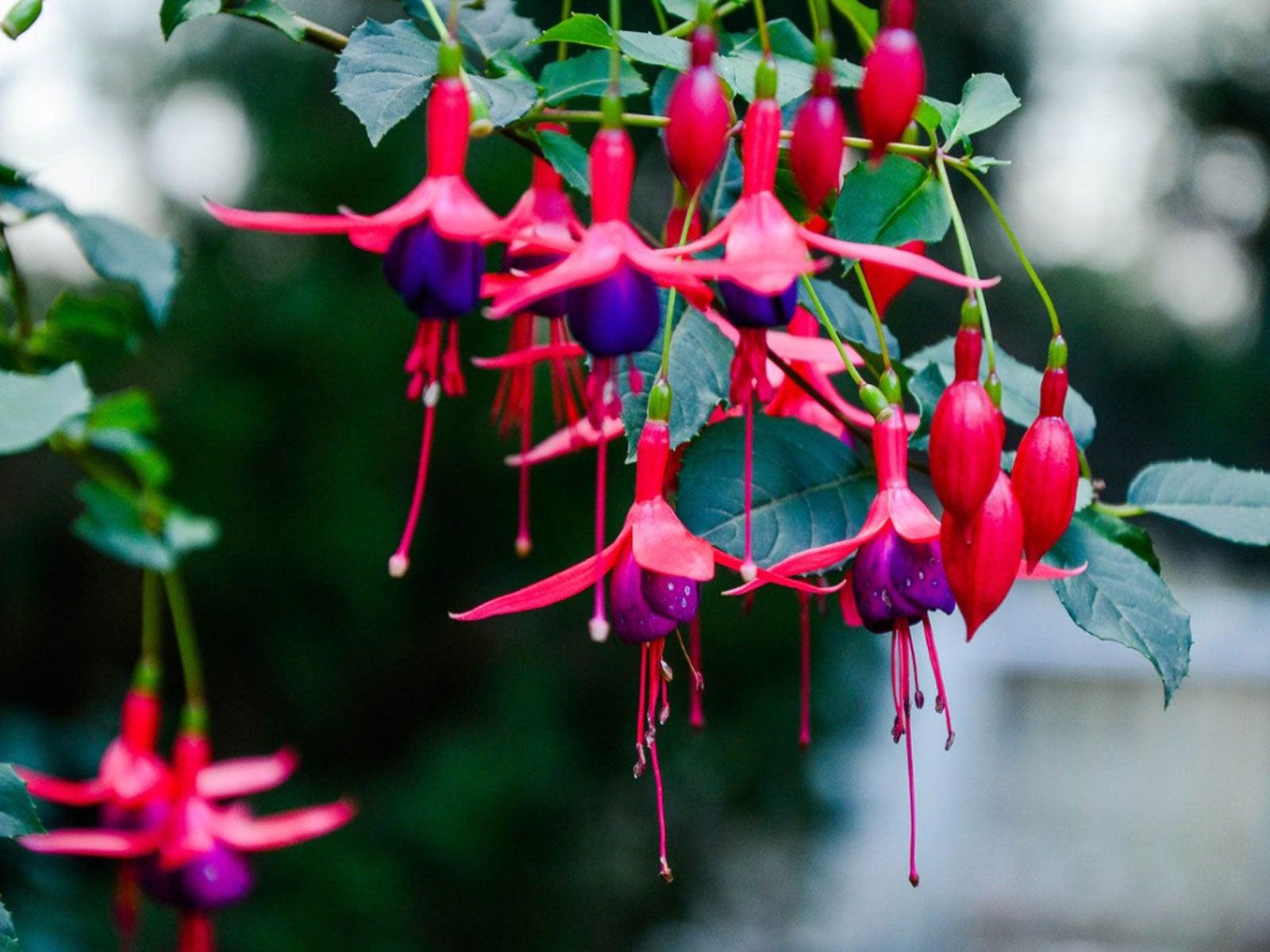 Fuchsia Plant Care: Fuchsia Growing Tips For Success