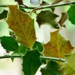 holly yellow leaves