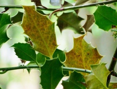 Information On How To Fix Yellow Leaves Holly Trees