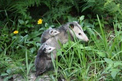 Possum Control: How To Trap Opossum