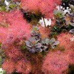 smoke-tree-blooms