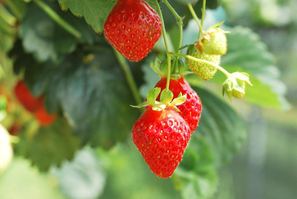 Sweet Strawberry Plants For