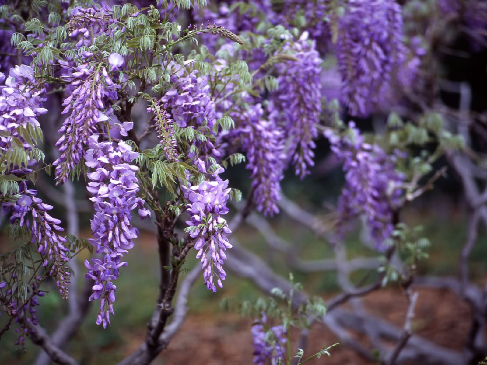 Wisteria Hysteria I Cannot Wait To Make A Flower Essence From Wisteria This Summer I Make Dosage Beautiful Flowers Wallpapers Purple Wisteria Wisteria Tree