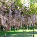 wisteria-vine