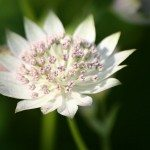 astrantia-flower