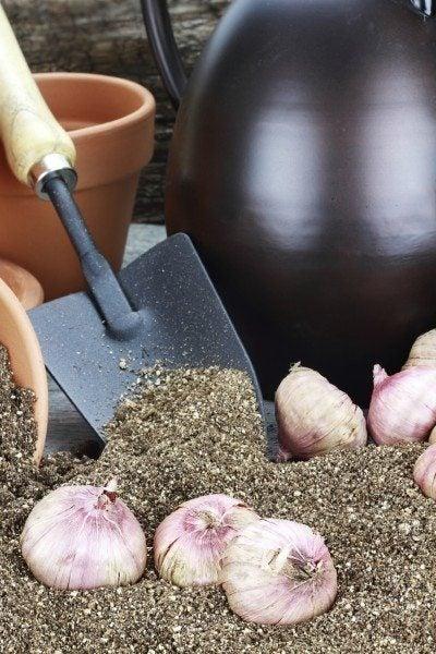 Gladiolus corms
