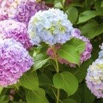 Pink and light blue hydrangea flowers on the branches